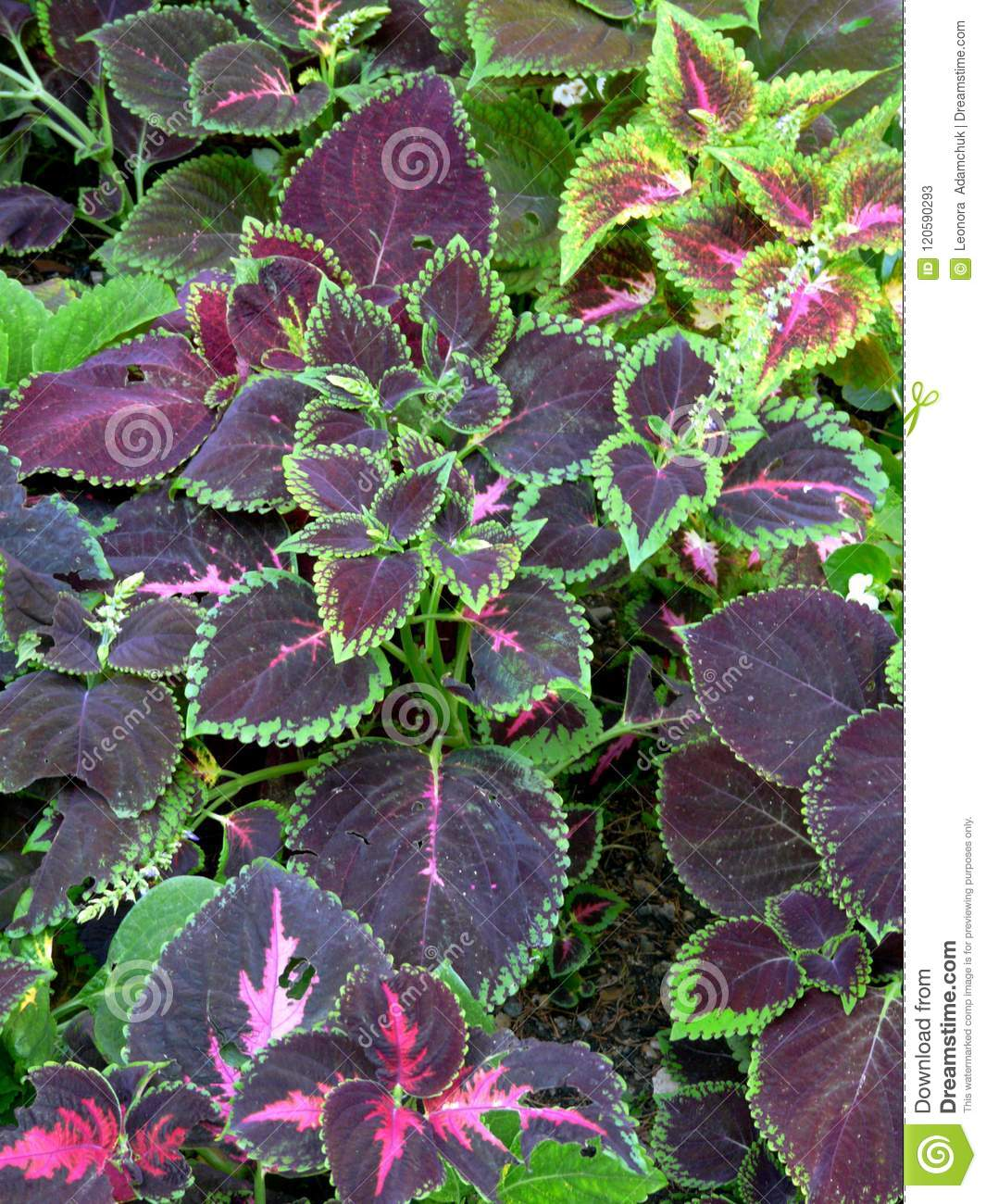 An Unusual Decorative Plant With Purple Leaves And Green