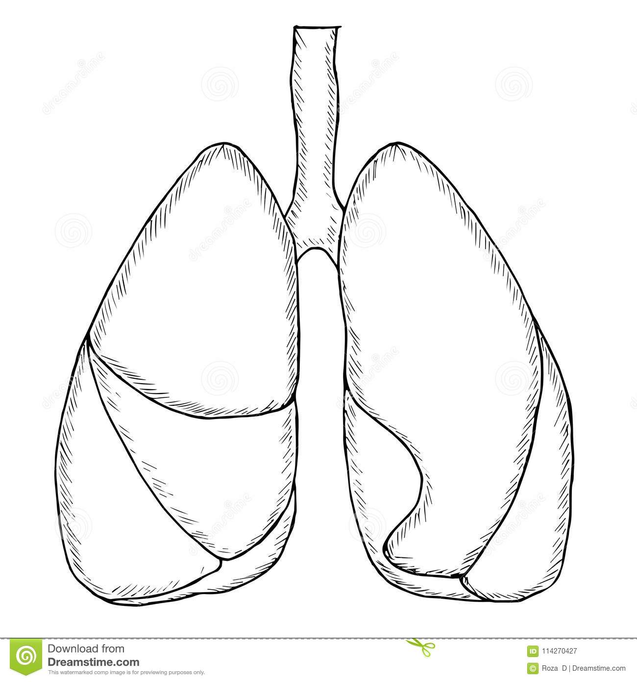 Human Lungs Sketch Stock Vector Illustration Of Biology