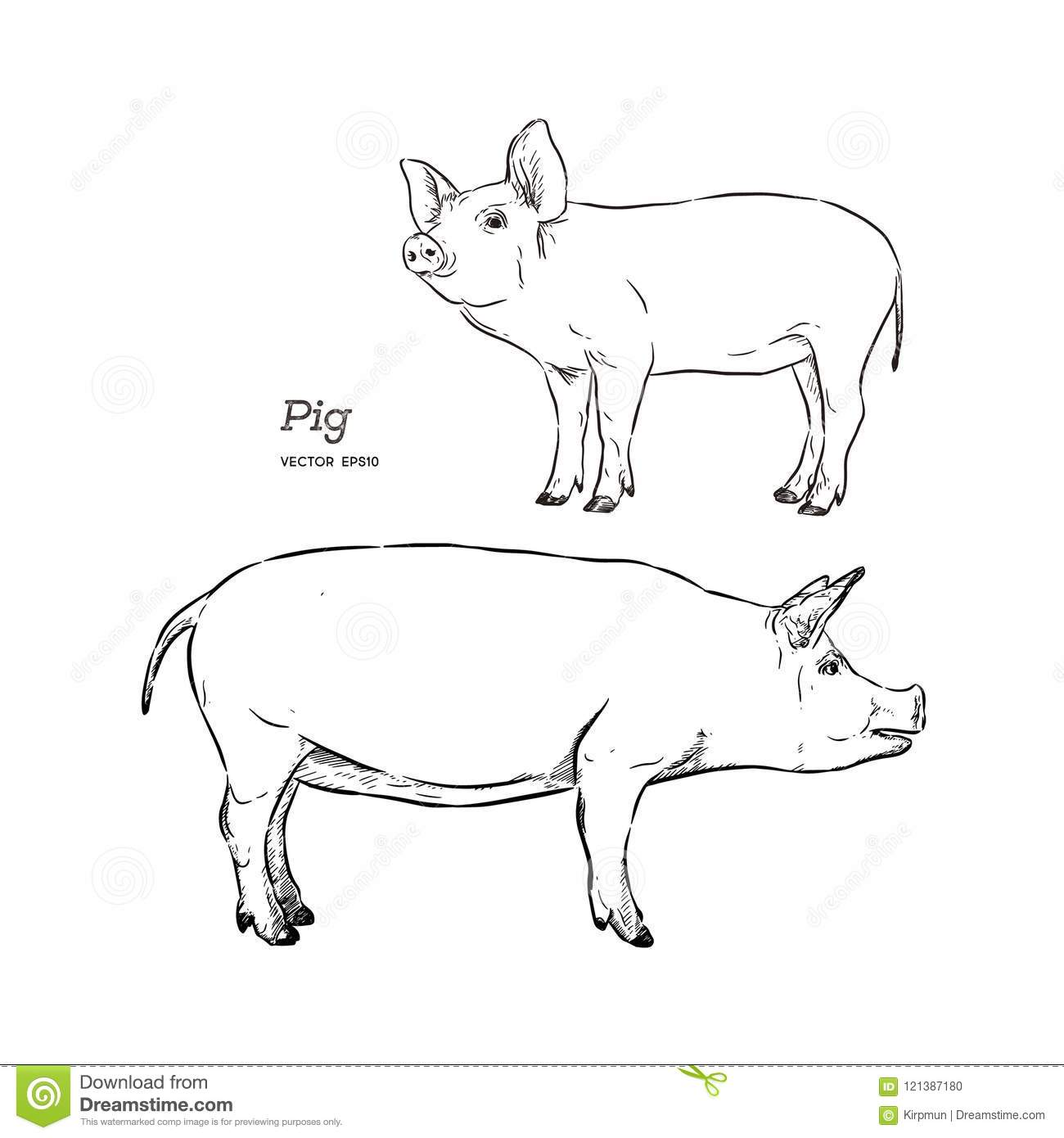 Vector Illustration Of Pig In Graphic Style Hand Drawing