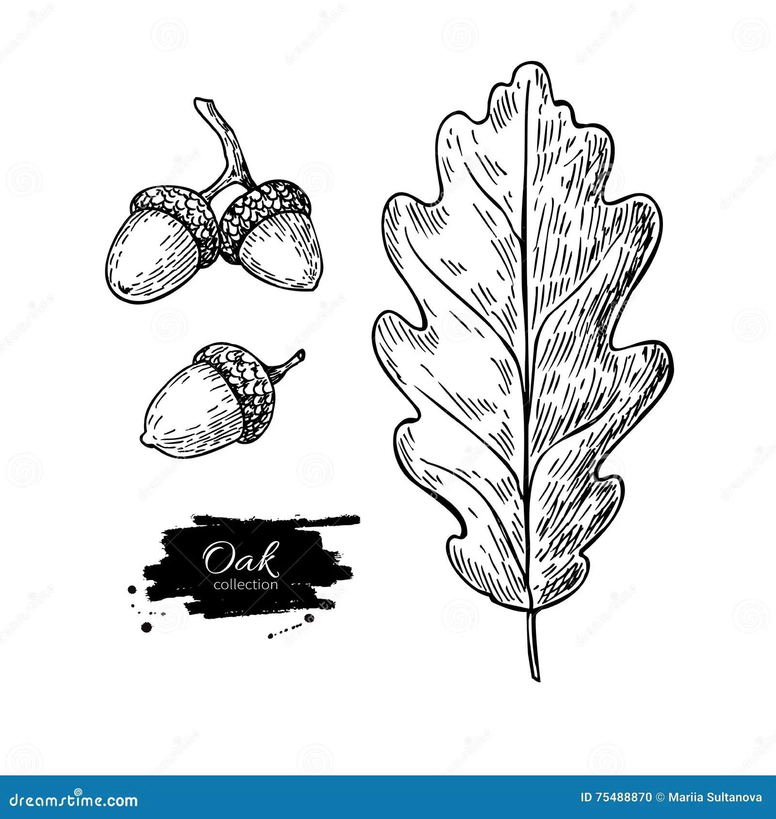 Vector Oak Leaf And Acorn Drawing Set Autumn Elements