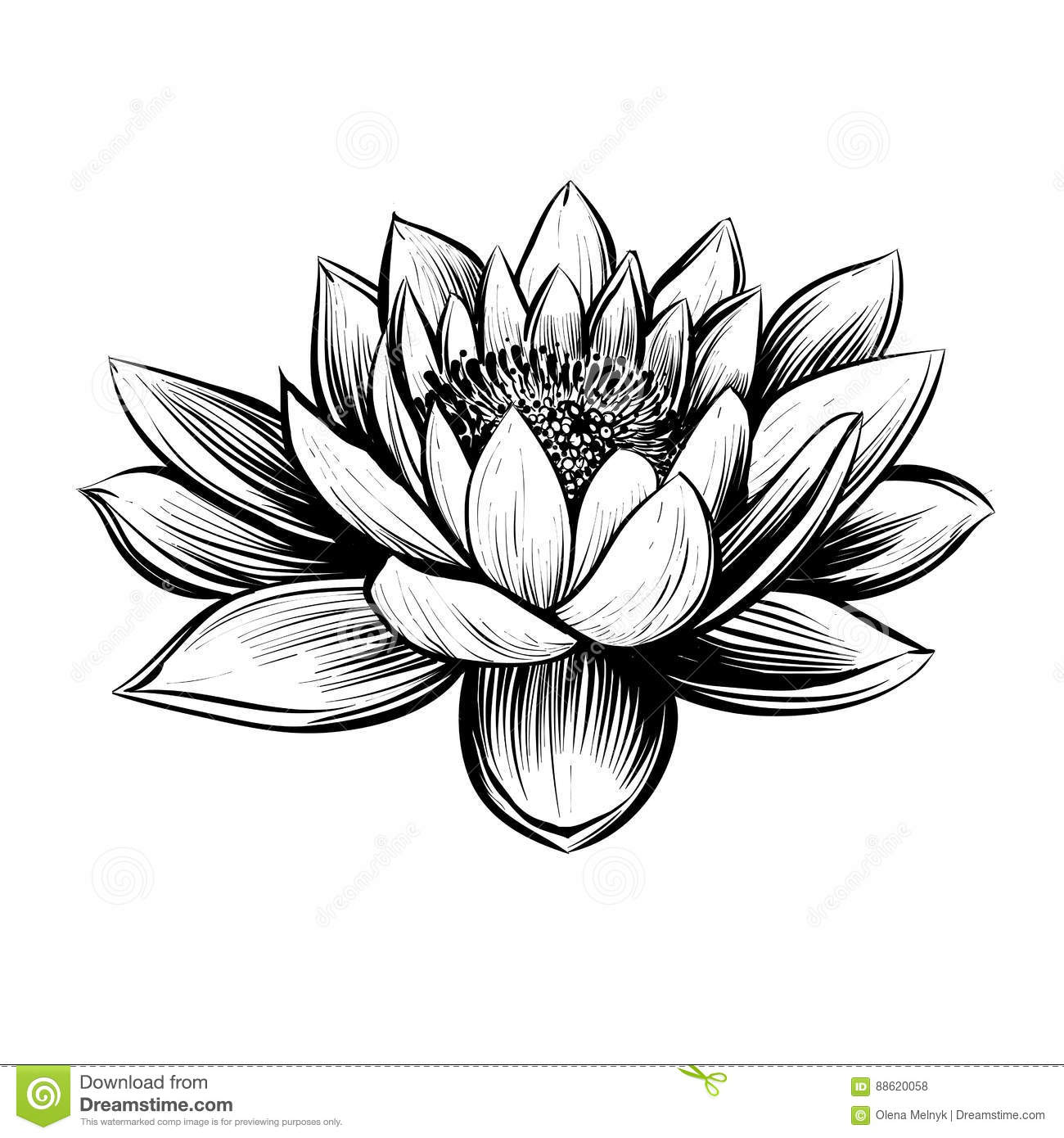 Vector Water Lily Lotus Illustration Stock Vector