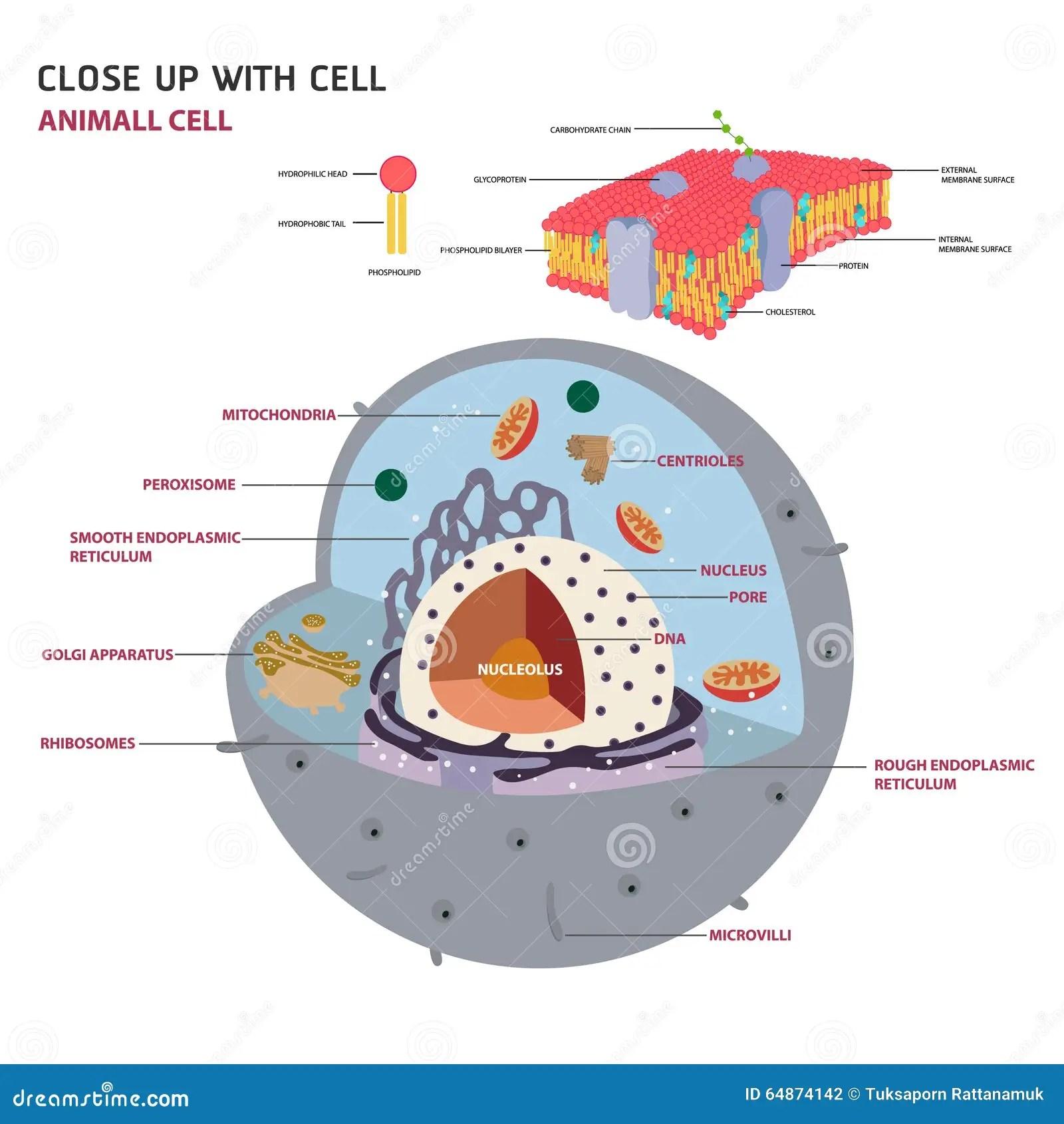 Vettore Eucariotico Delle Cellule Delle Cellule Animali