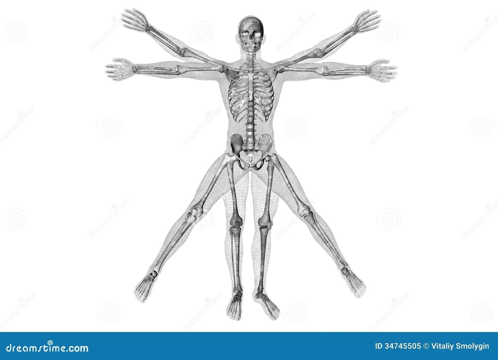 Human Anatomy Vitruvian Man Stock Photo