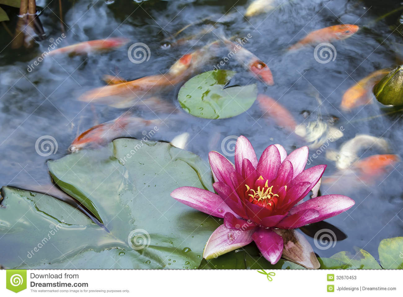 Koi Pond Water Lily