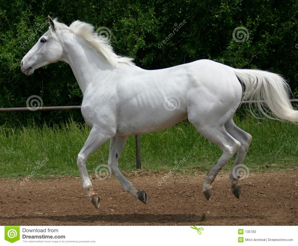 White Horse Canter Stock Photos Image 135783