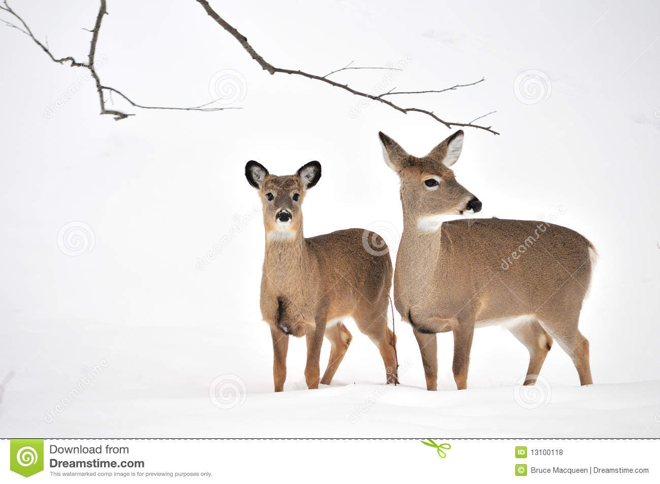 Whitetail Deer Yearling And Doe Stock Photo