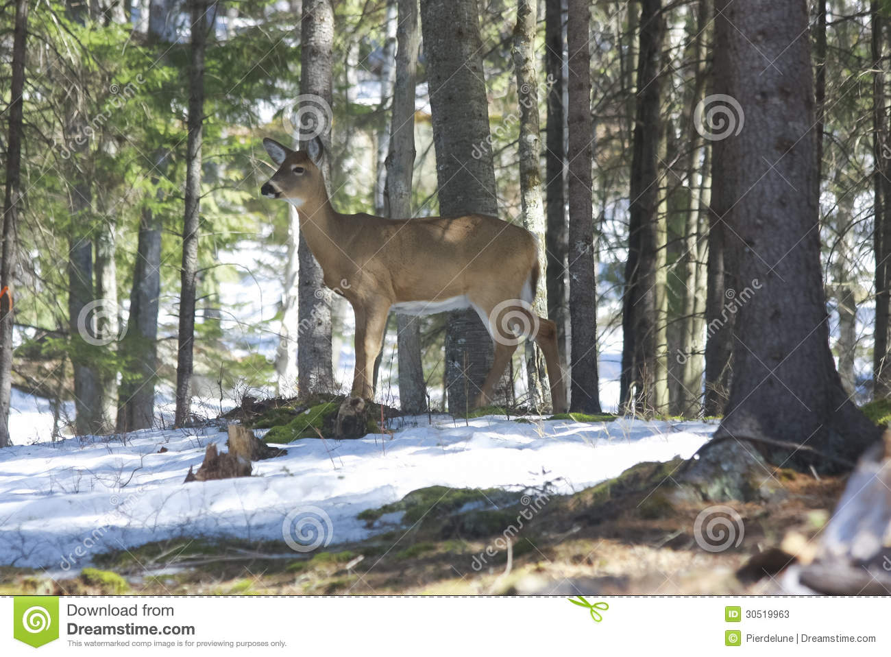 Whitetails Deer In Its Natural Habitat I Stock Photos