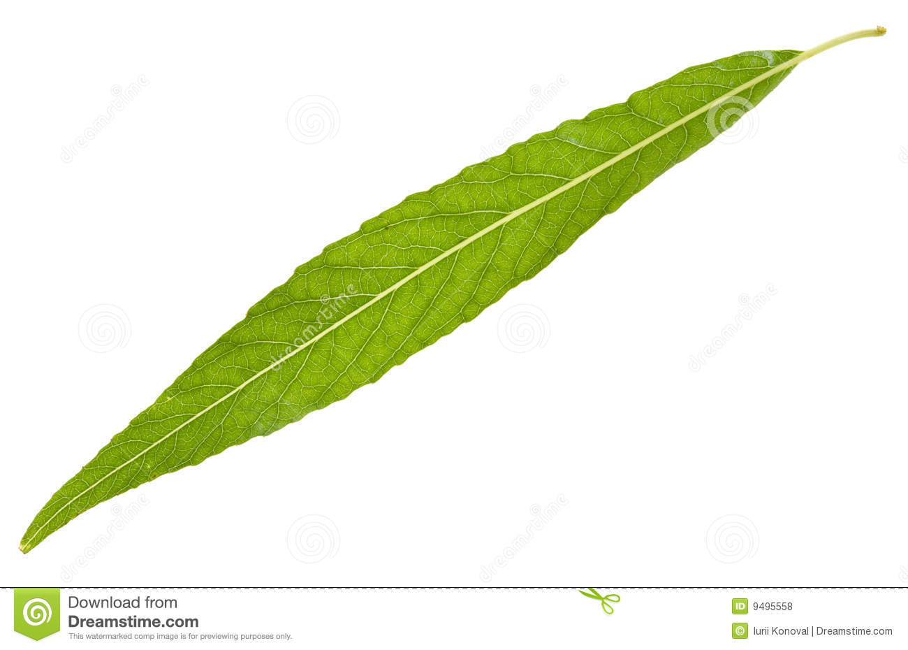 Willow Leaf Isolated Royalty Free Stock Photos Image