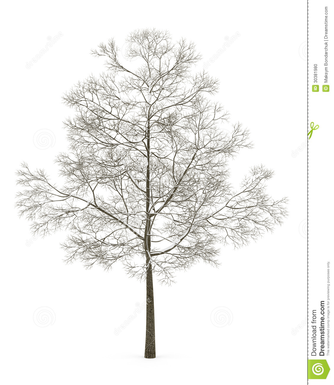 Winter Fall Norway Maple Tree Isolated On White Stock