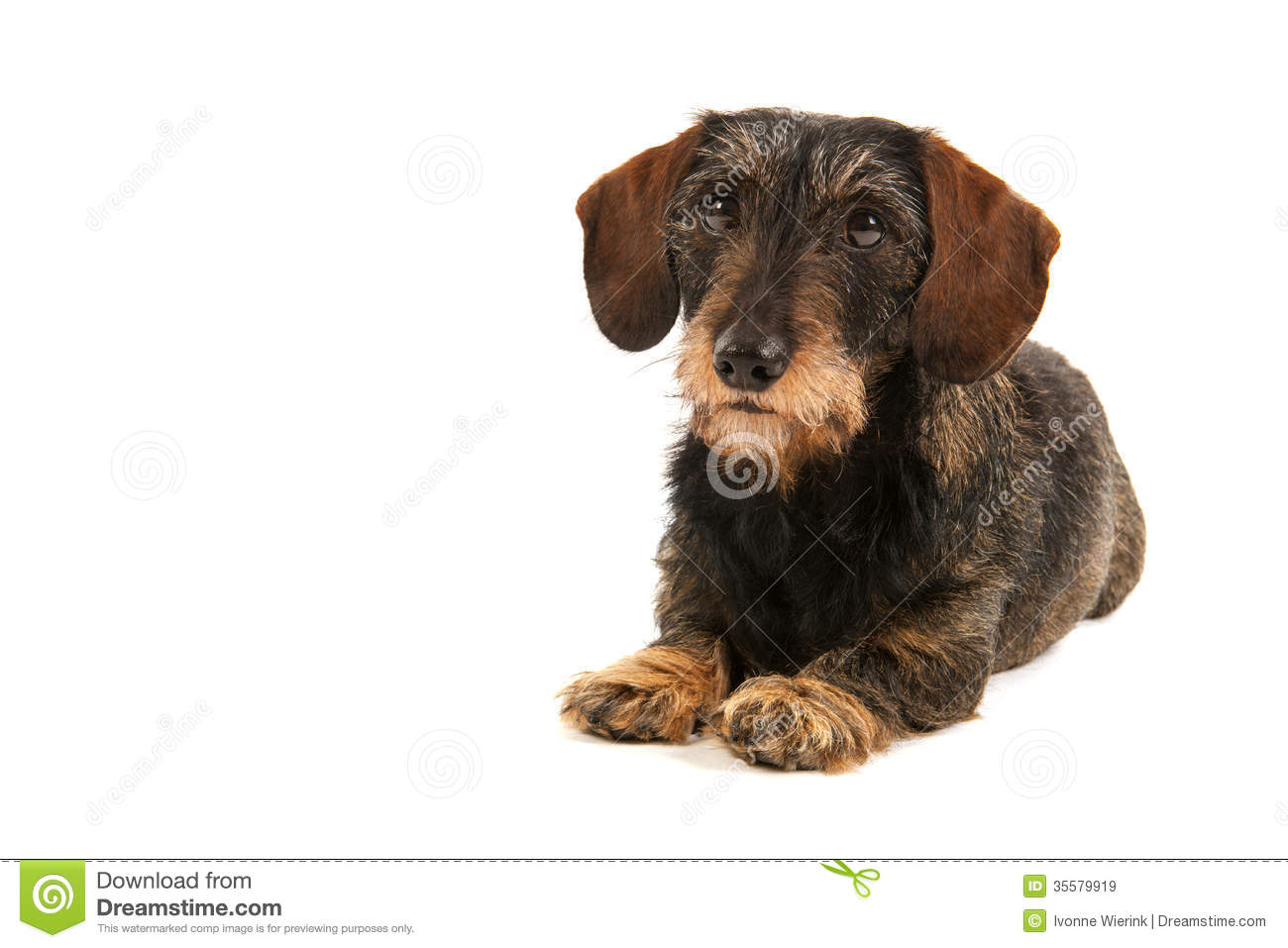 Wire Haired Dachshund Stock Image Image Of Pure Hound