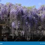 Wisteria Trellis Stock Image Image Of Tree Sunny Wistaria 147725477