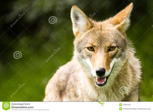 Wolf Royalty Free Stock Images Image 15903729