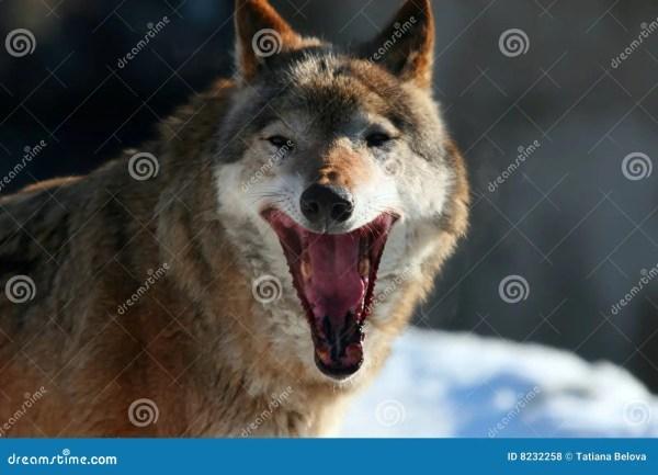 Wolf Royalty Free Stock Photos Image 8232258