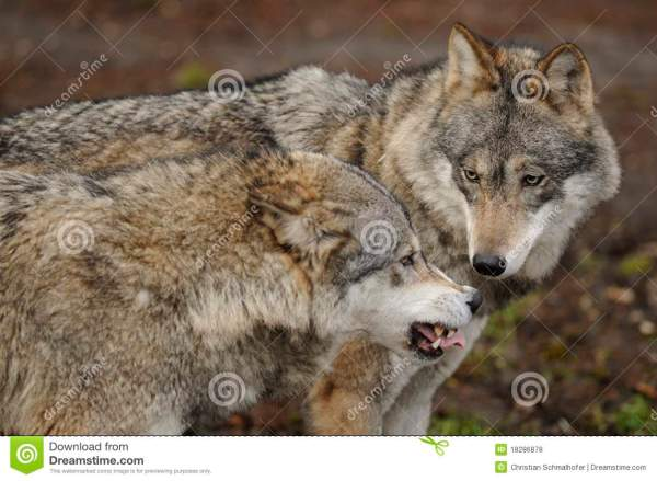 Wolf Canis Lupus Royalty Free Stock Photos Image