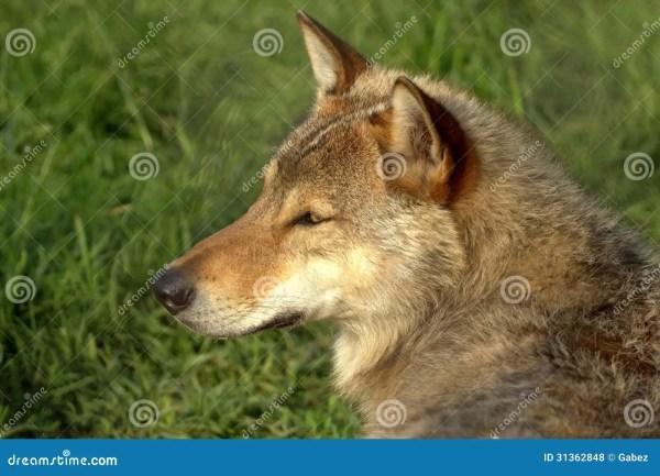 Wolf Royalty Free Stock Photos Image 31362848