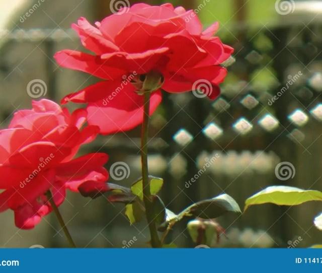 Wonderful Roses In A Garden