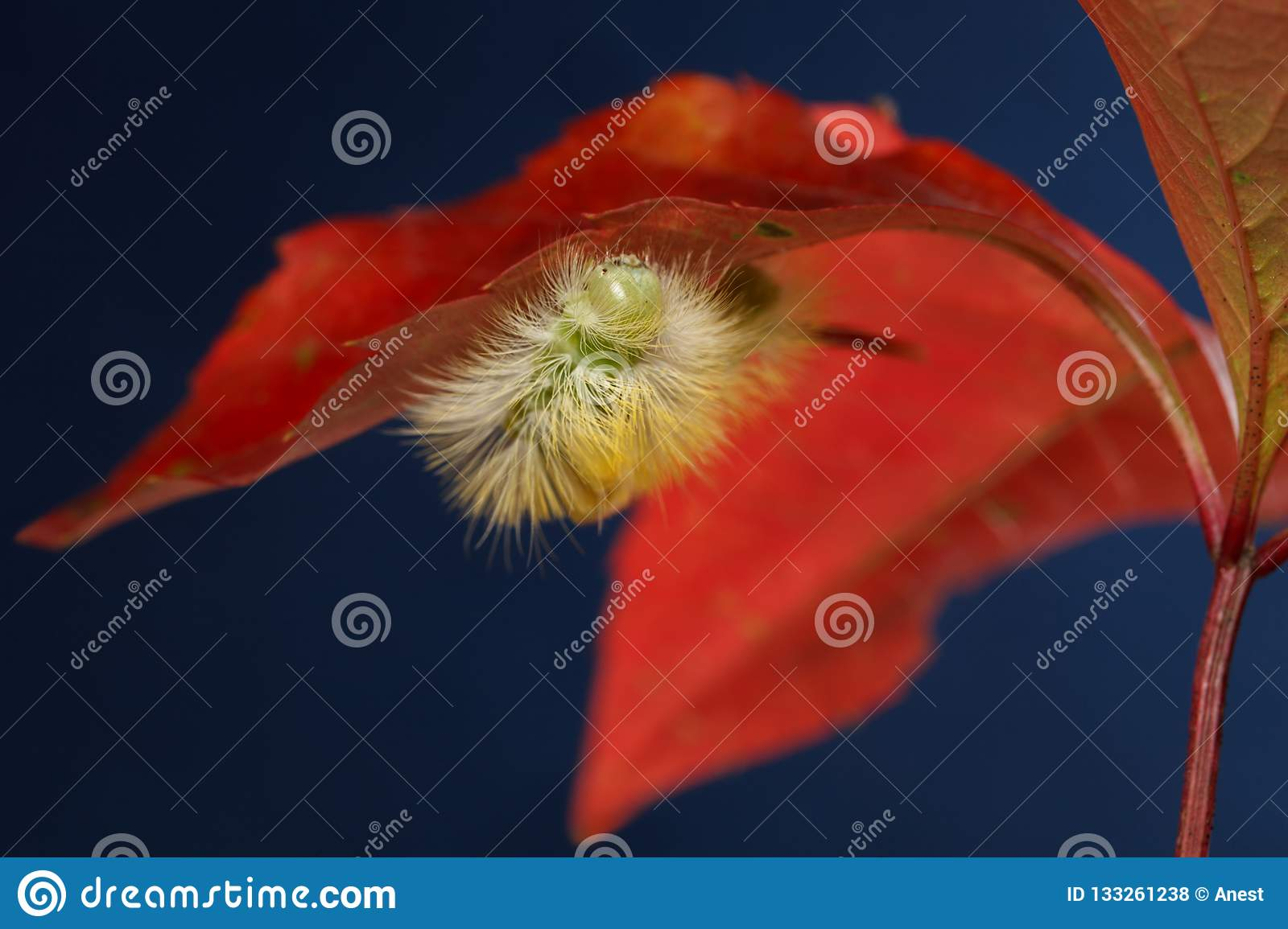 Yellow Caterpillar Hide Under Red Leaf Stock Photo