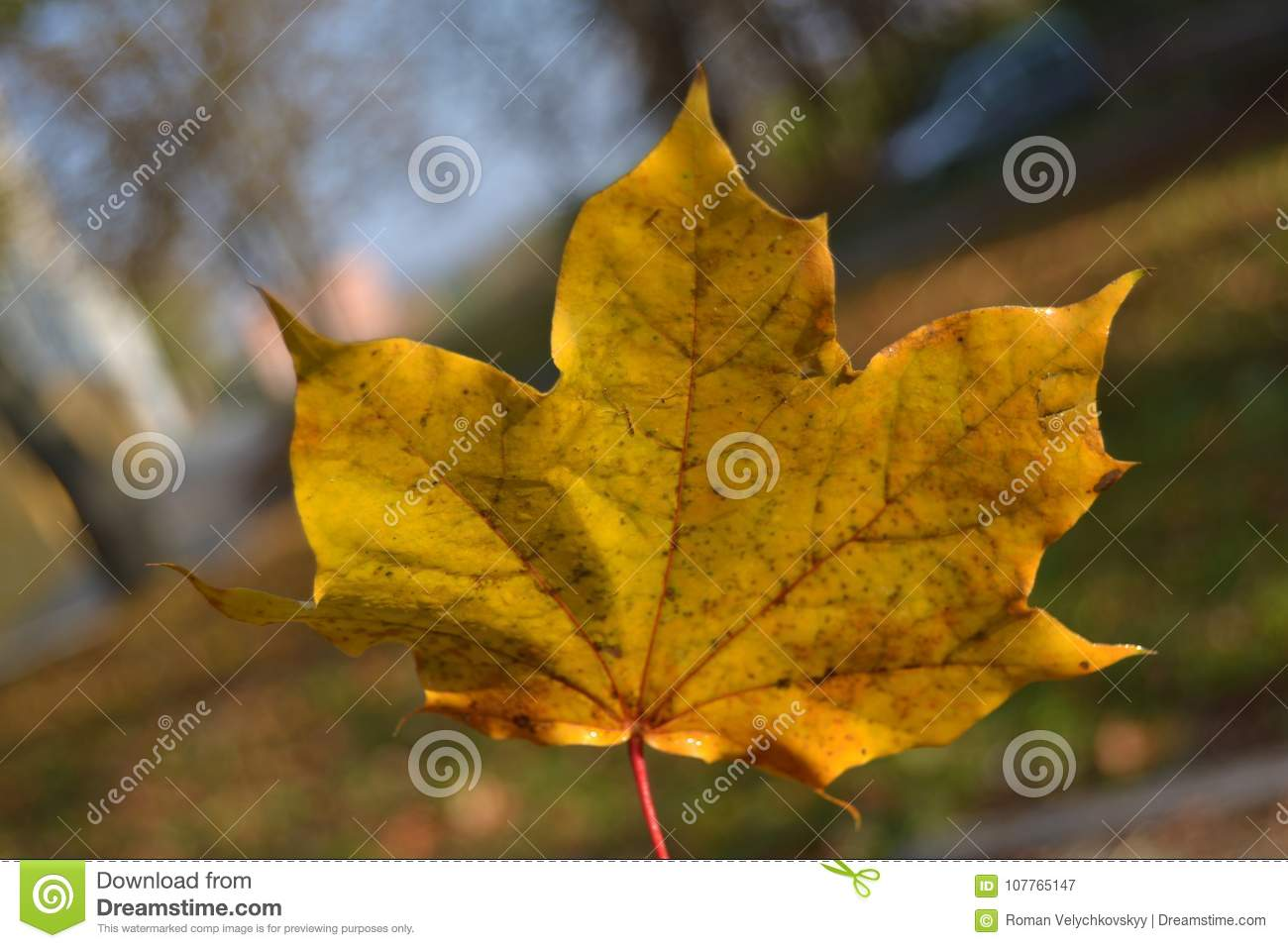 Yellow Maple Leaf With Red Petiole Close Up Stock Image