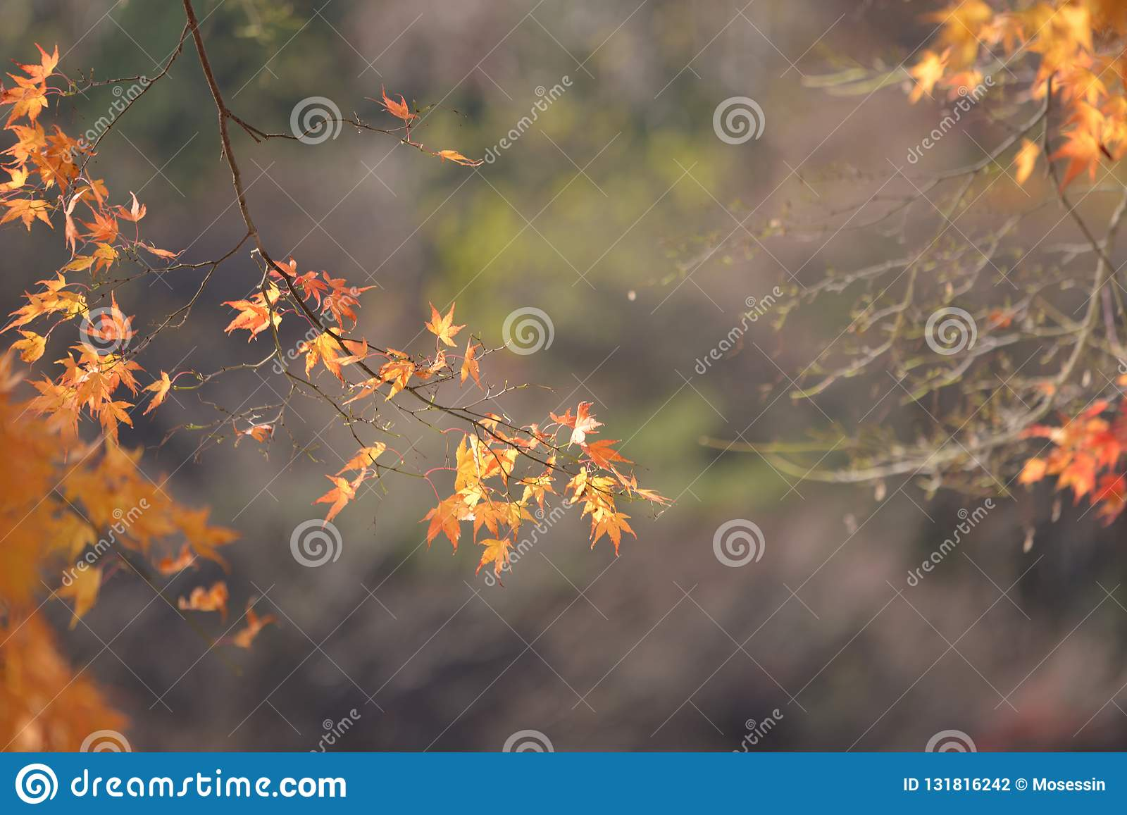 Yellow Red Maple Leaf Fall Winter Stock Photo