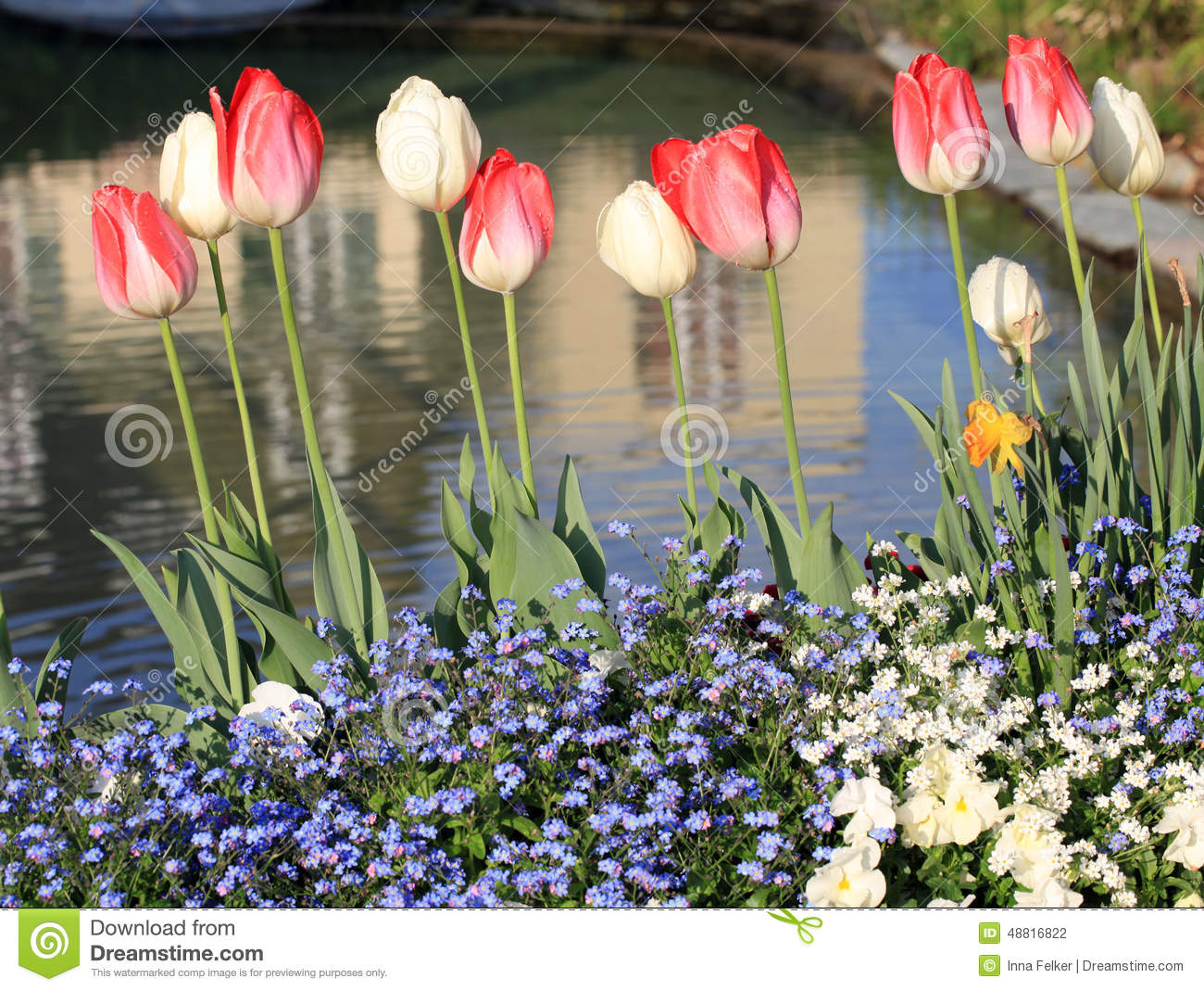 Yellow And Red Tulips With Water Drops And Pond Stock