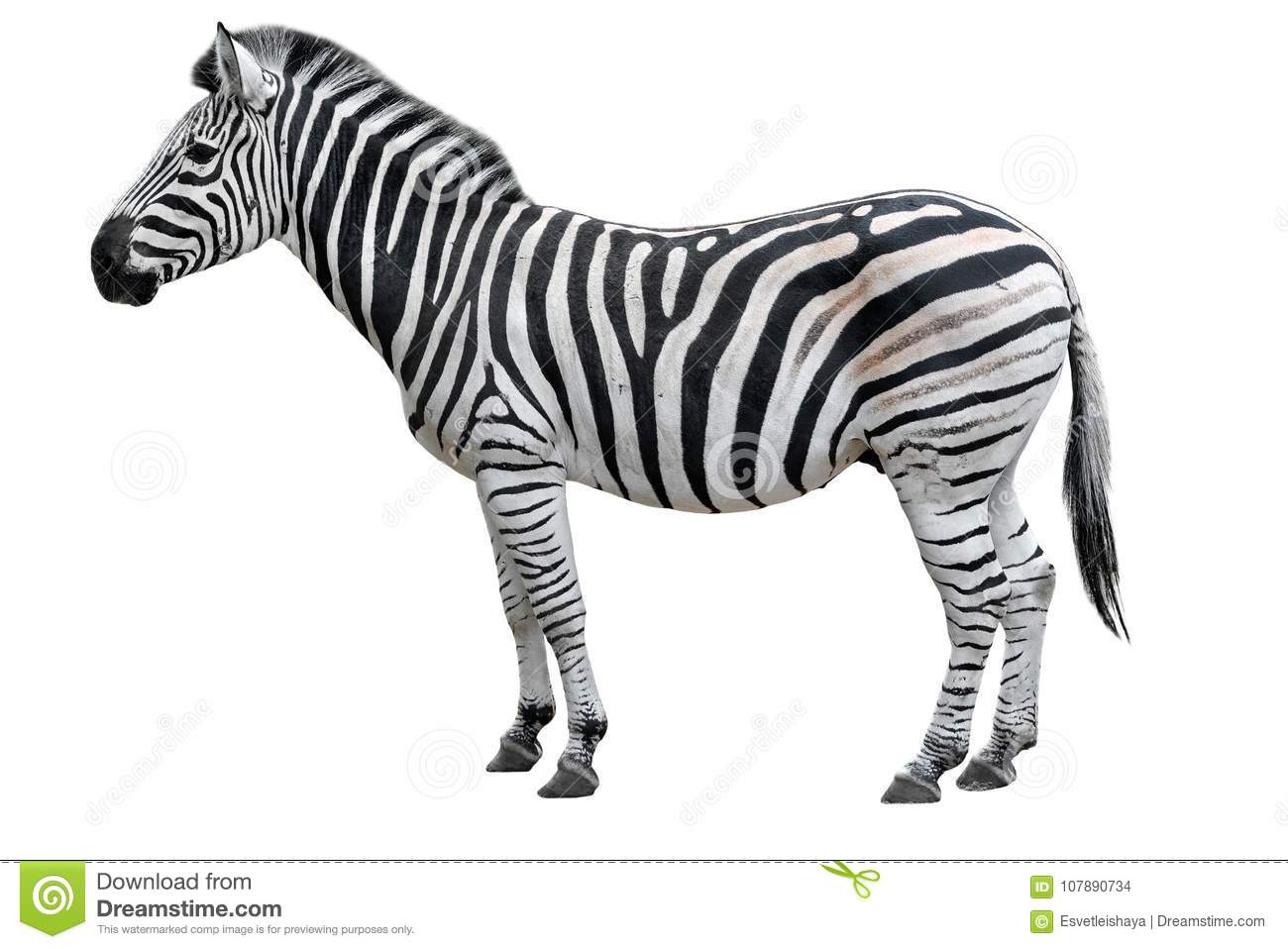 Zebra Cutout Stock Images