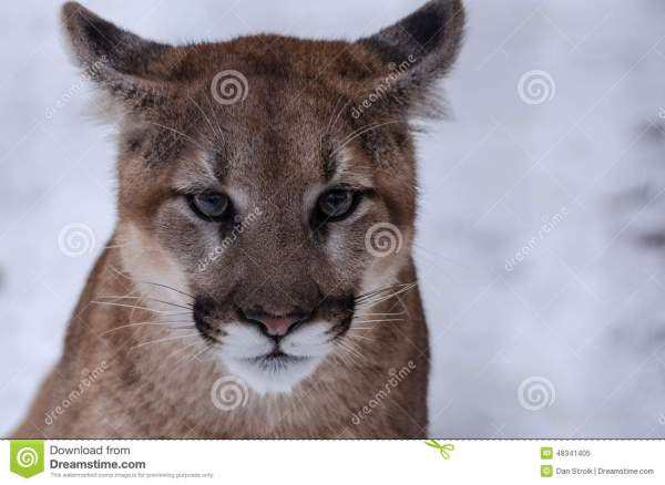 Young cougar in the snow stock image. Image of winter ...