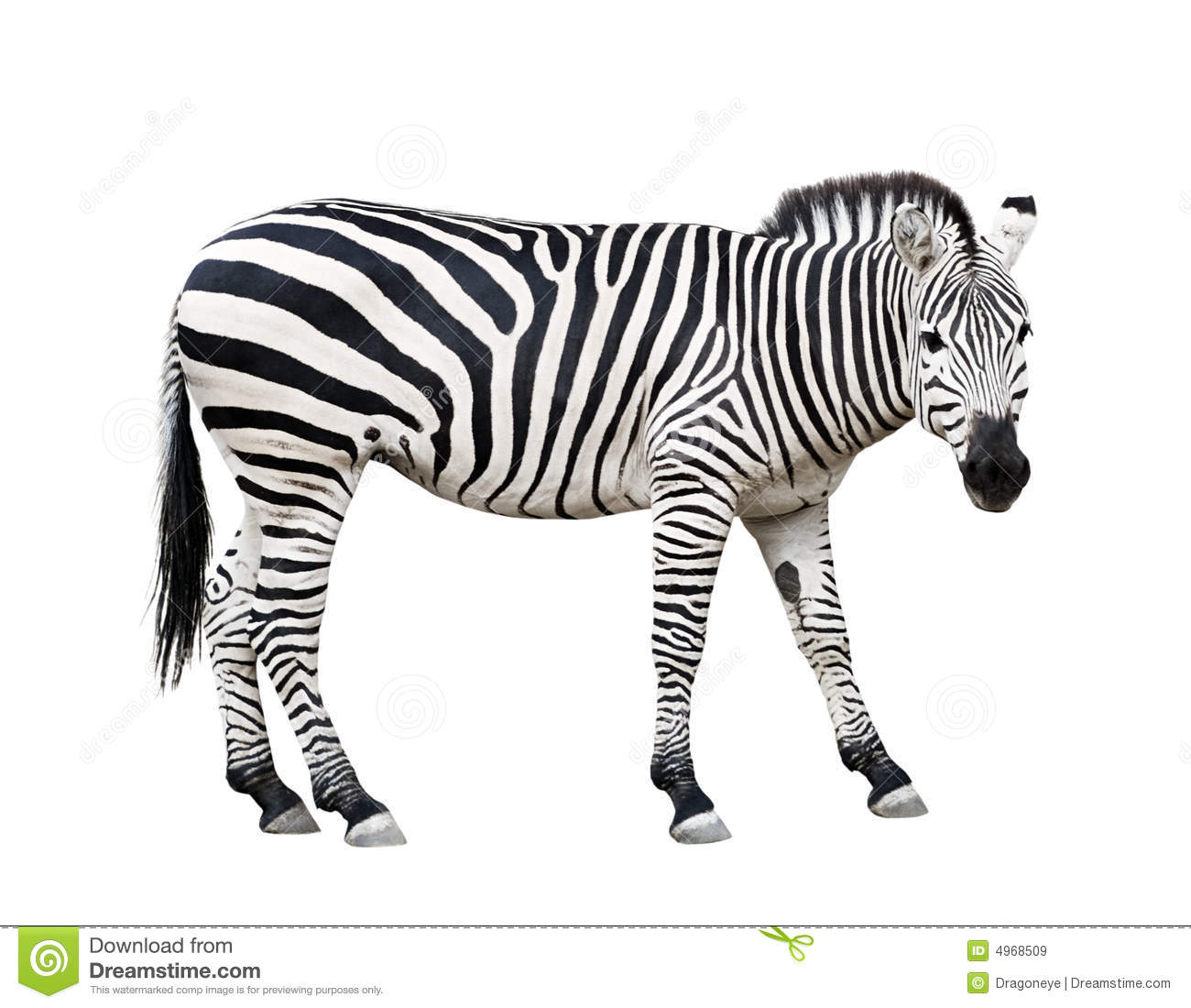 Zebra Cutout Stock Image Image Of Burchell Strip Safari