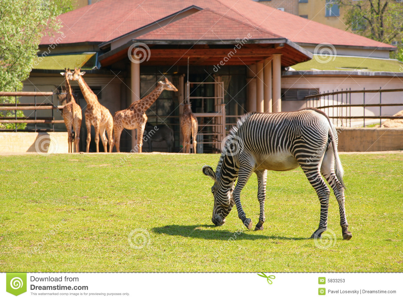Zebra And Giraffes In Moscow Zoo Stock Image