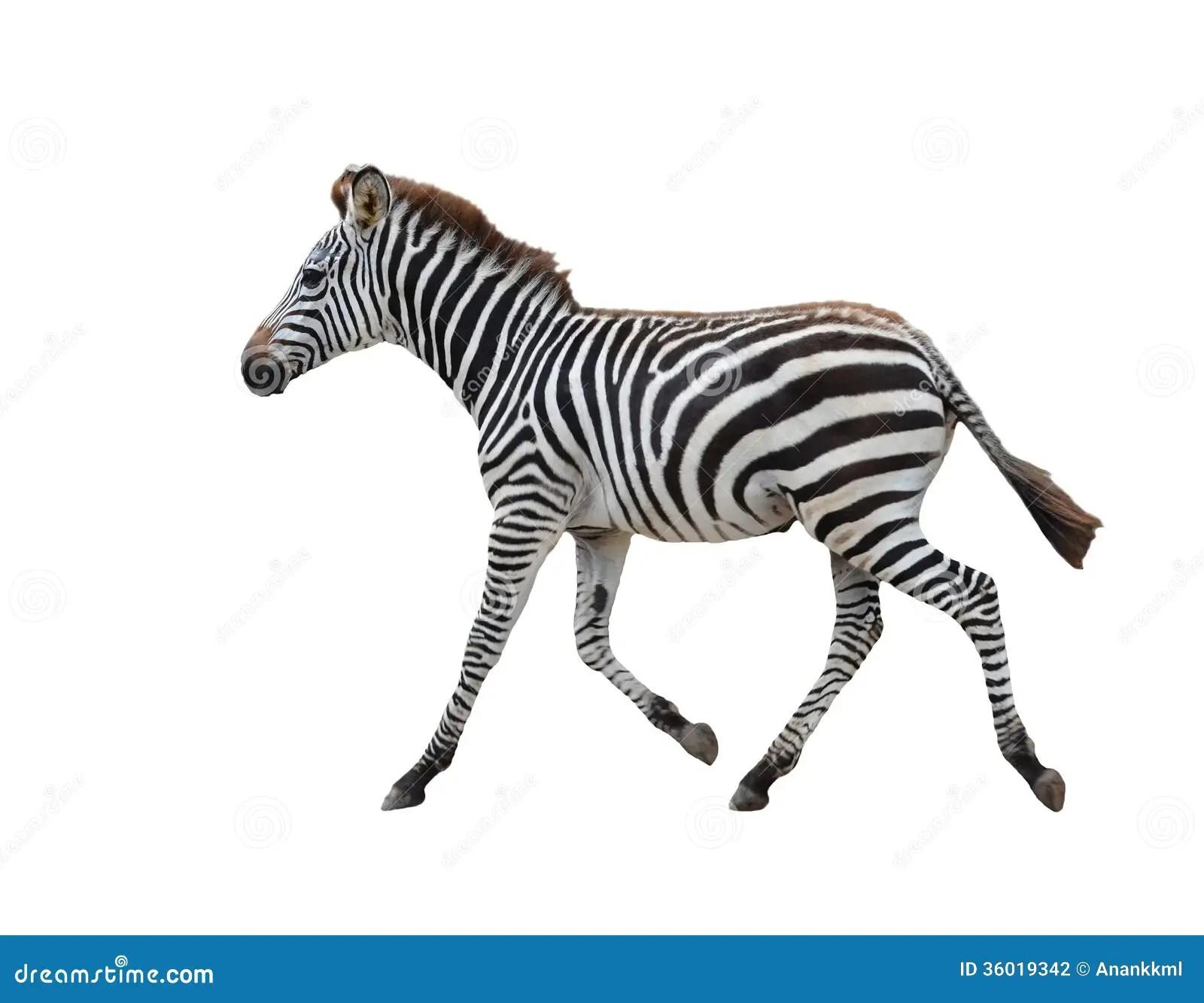 Zebra Isolated Stock Photography