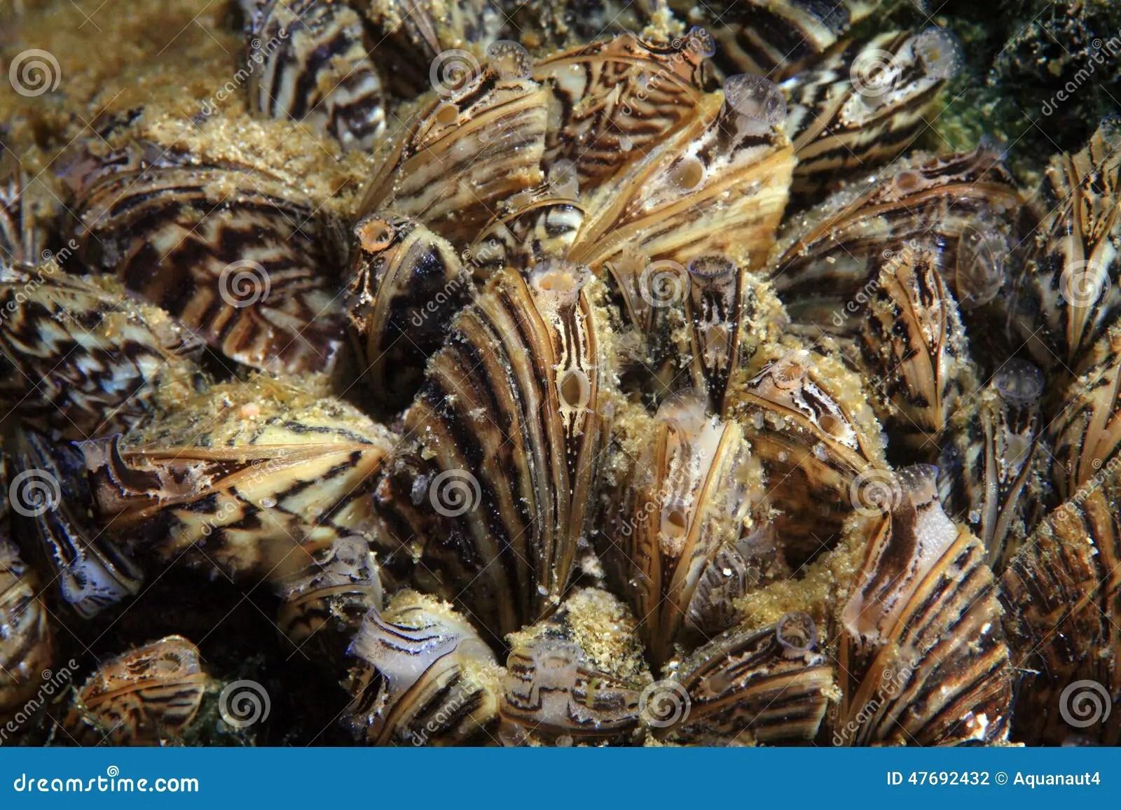 Zebra Mussel Dreissena Polymorpha Stock Photo