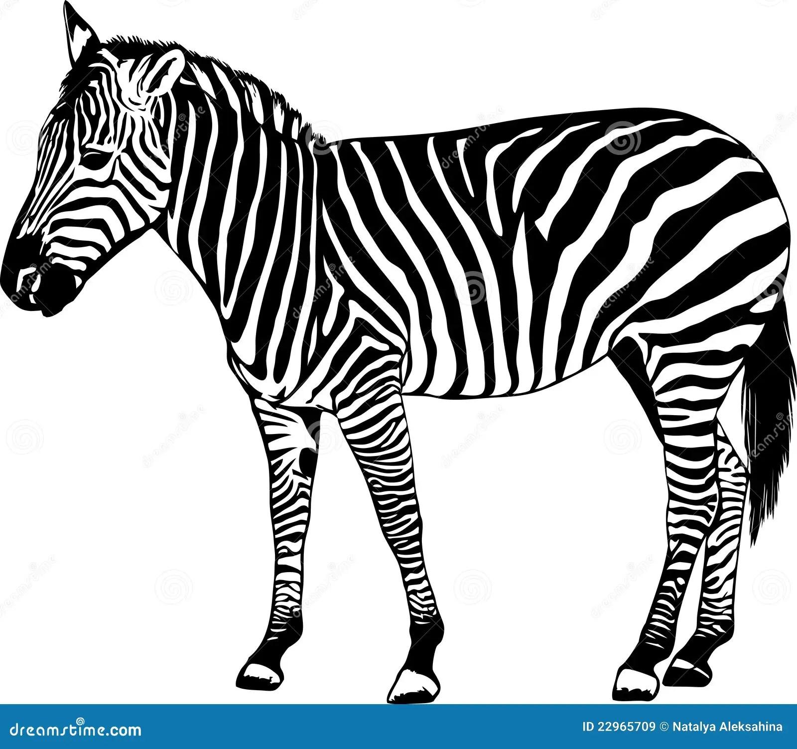 Zebra Vector Illustration Stock Vector Illustration Of
