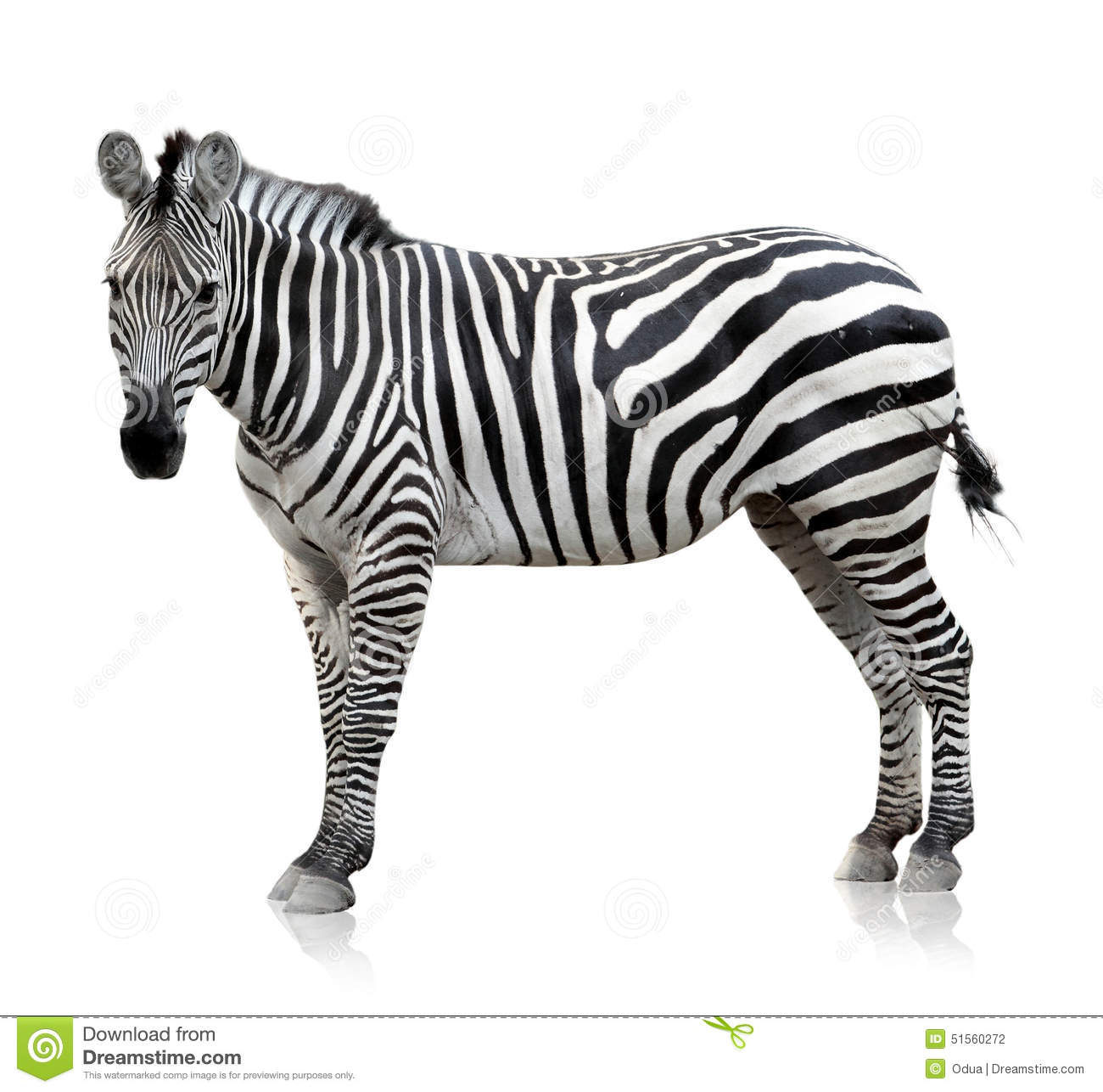 Zebra On White Background Stock Photo Image Of Stripe