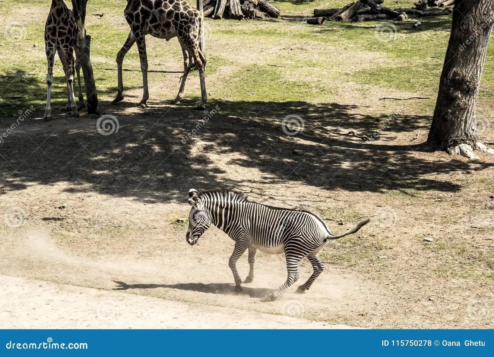 Zebra And Giraffes Stock Photo Image Of Green Horse