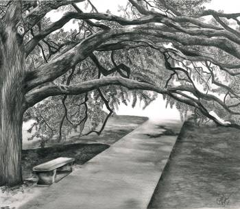The Century Tree At Texas AampM By Crystal Bosse