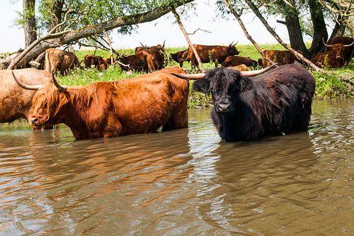Schotse Hooglanders in het water