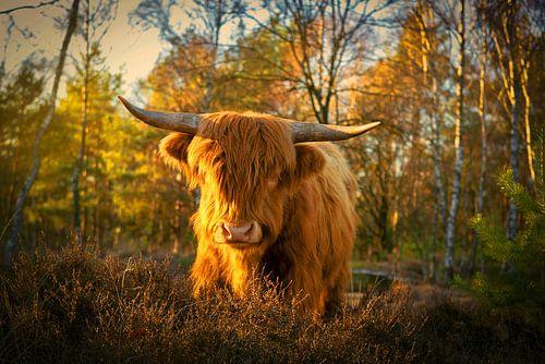 Schotse Hooglander in het gouden licht.