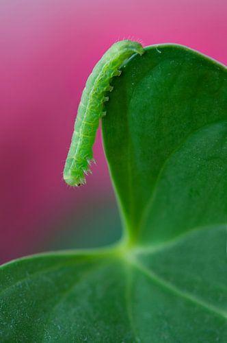 Groene rups
