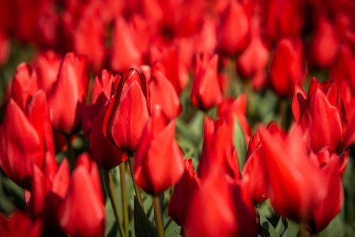 rode tulpen in bollenveld.