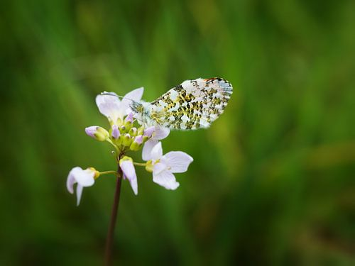 Voorjaarsvlinder