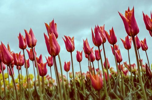 Tulpen in Holland