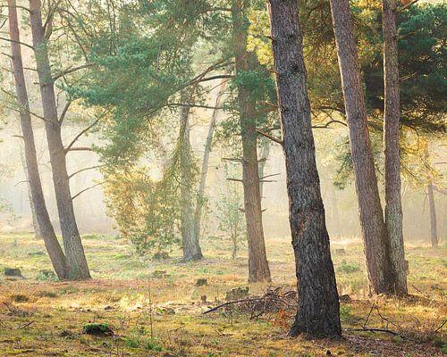 Magisch licht in het bos, Utrechtse Heuvelrug, Nederland