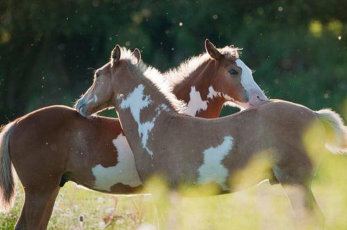 Wilde paarden in de Rijnstrangen