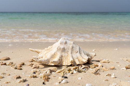 Zeeschelp op tropisch strand