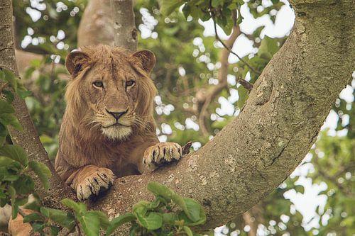 De beroemde boom klimmende leeuw in Oeganda