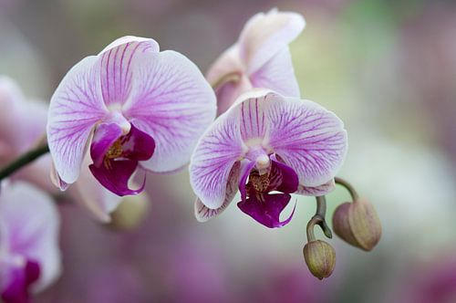 Orchidee (Orchideae)