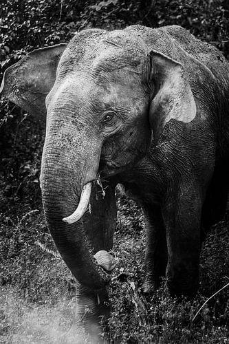 Zwart/wit Sri Lankaanse olifant