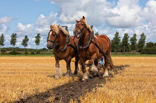 Stoppelveld traditioneel ploegen met trekpaarden
