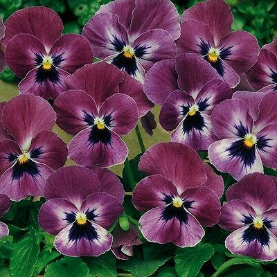 Viola Velour Frosted Chocolate x20 seeds, Mother's Day ...