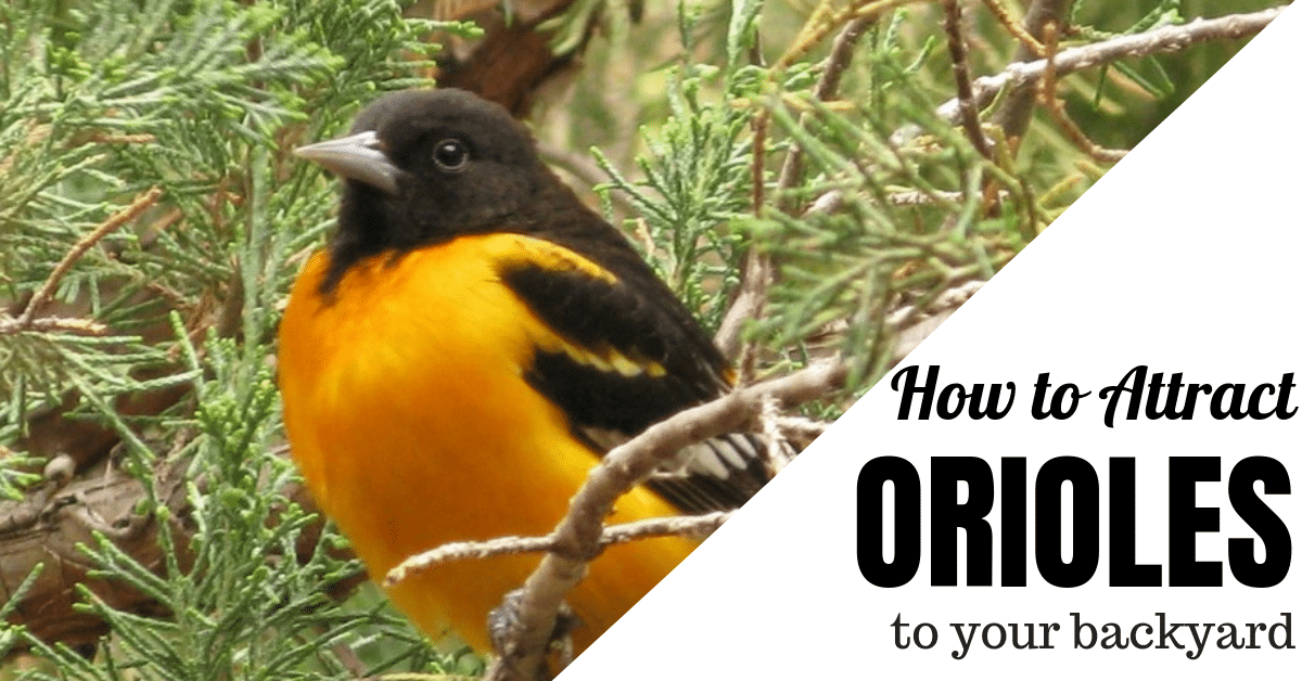 Attract Orioles to Your Yard