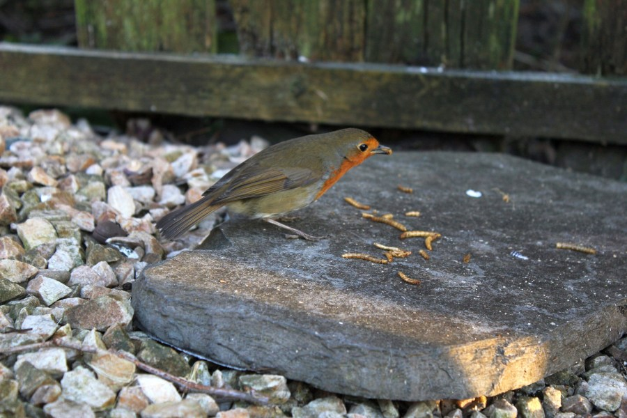 Orioles Love Mealworms